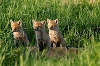 Three red fox kits focus on what´s happening off to the side, Pennsylvania, USA