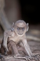 young Southern plains gray langur Semnopithecus dussumieri in fortress, Ranthambore National Park, Rajasthan, India