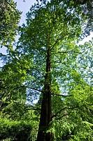 Metasequoia glyptostroboides, Villa Taranto, Pallanza, Italy