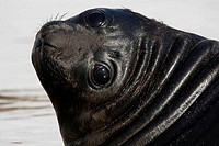Close_up of a Southern Elephant seal pup Mirounga leonina, South Georgia Island, South Sandwich Islands