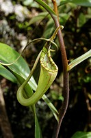Pitcher Plant, Nepenthes Fusca, Borneo