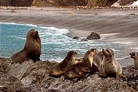 Fur seals on the coast, Fortuna Bay, South Georgia Island, South Sandwich Islands