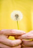 Close-up of hands holding dandelion Taraxacum