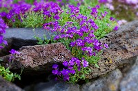 False Rock Cress 'Whitewell Gem.' Aubrieta Cultorum