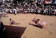 India, Tamil Nadu State, Madurai, Bull taming at Alanganallur, South India, Jallikattu is a bull taming sport played as a part of Pongal celebration, ...