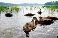 Flock of American black ducks Anas rubripes in water