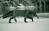 Side profile of a Red Fox foraging on a snow covered landscape Vulpes vulpes