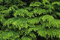Western Hemlock Tsuga heterophylla with layered boughs in spring, Soleduck Valley, Olympic National Park, Washington, USA