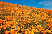 California Poppies Antelope Valley California Poppy Reserve, California, USA