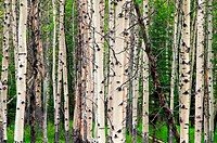 Quaking aspen  Populus tremuloides trees in a forest, Banff National Park, Alberta, Canada