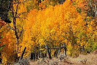 Autumnal trees in a forest, Wyoming, USA