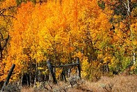 Aspen trees in autumn, Horse Creek, Dubois, Wyoming, USA