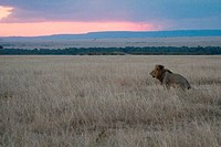 Lion Panthera leo in plains at sunset, Masai Mara National Reserve, Kenya