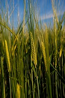 Barley in a barley field