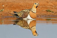 Pin-tailed Sandgrouse (Pterocles alchata) male, Aragon, Spain