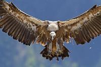 Griffon Vulture (Gyps fulvus) landing, Pyrenees, Spain