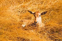 Topi calf resting in tall grass in the savannah Masai Mara National Nature Reserve Kenya East Africa