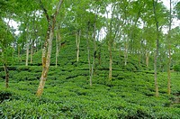The Malnichara Tea Garden in Sylhet Malnichara was the first commercial tea garden of Bangladesh and was established in 1854 Sylhet, Bangladesh Octobe...