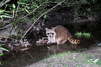 Photo of Raccoon taken at night inside Central Park in New York City, USA
