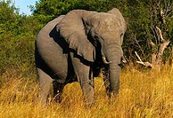 African elephant Loxodonta africana walking in a forest, Botswana