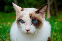 Portrait of a beautiful blue_eyed kitten