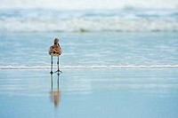 USA, Florida, Jacksonville, Jacksonville Beach, Long Billed Dowitcher Limnodromus scolopaceus by sea