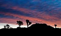 Silhouette of Joshua trees Yucca brevifolia in a desert, Joshua Tree National Monument, California, USA