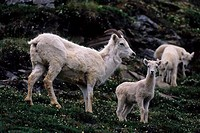 Usa, Alaska, Denali National Park, Cathedral Mountain, Dall Sheep Herd, Female With Lamb