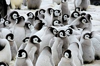 ANTARCTICA, WEDDELL SEA, SNOW HILL ISLAND, EMPEROR PENGUINS Aptenodytes forsteri, COLONY, CHICKS IN CRECHE KINDERGARDEN