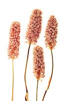 Four dried Bistort flowers