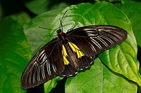 Common Birdwing Troides helena butterfly on a green leaf