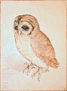 The Screech Owl Albrecht Durer 1471_1528 German