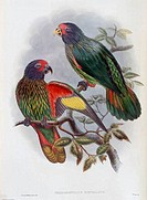 Red_fronted Lory John Gould 1804_1881 British