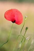 Papaver somniferum - Corn Poppy with buds