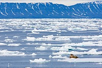 A walrus in an arctic landscape.