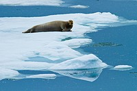 A bearded seal rests on pack ice on the Arctic Ocean.