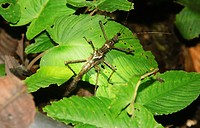stick insect Phasmatidea Phamida in Mulu National Park, Sarawak, Borneo, Malaysia