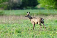 Roe deer in spring, Capreolus capreolus, Hesse, Germany, Europe