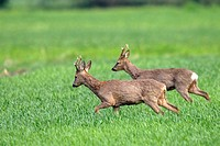 Fighting Roe Bucks, Capreolus capreolus, Hesse, Germany, Europe
