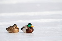 Two mallard ducks Anas platyrhynchos on an icy winter pond.