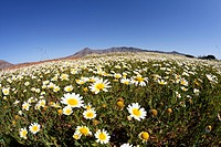 Spain, Canary Islands, Fuerteventura, Cuchillos, View of blooming marguerites