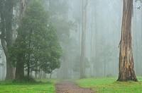 Australia, Victoria, Dandenong Ranges, Dandenong Ranges National Park, View of mountain ash forest in fog