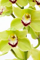 Fresh Green Orchid _ Isolated on white