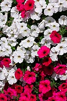 petunia, white and red