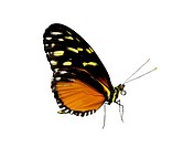 Golden Halicon butterflies Haliconius hecale, includes clipping path