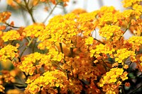 basket of gold or allysum saxatile, herbaceous perennial of the family Cruciferae