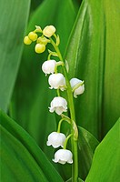 Lily of the Valley, Convallaria majalis, Asparagaceae