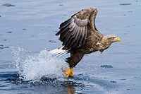 White_tailed eagle catching fish