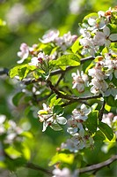 abloom, apple, background, beautiful, beauty, bloom, blooming, blossom, branch, bright, close_up, colour, colourful, day, detail, flora, floral, flowe...