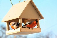 Two bullfinches in feed. Winter day